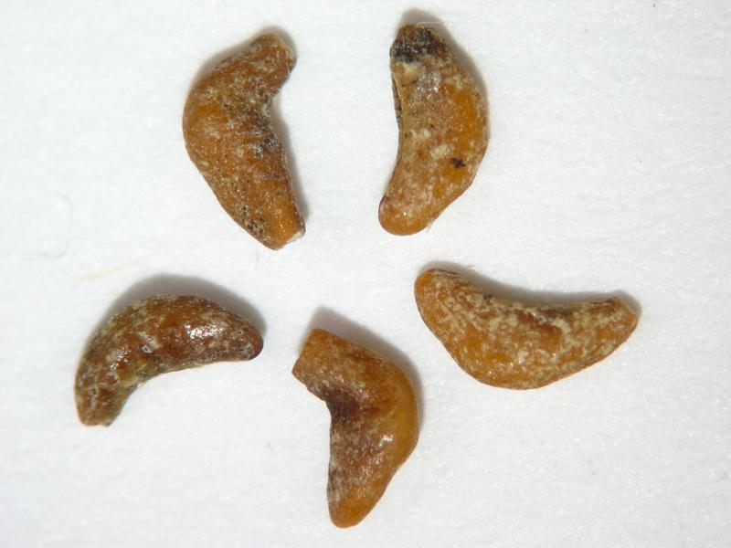 Larrea tridentata (LATR2)