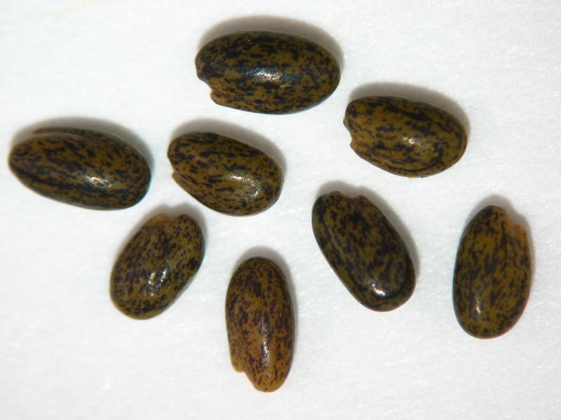 Trifolium albopurpureum (TRAL5)