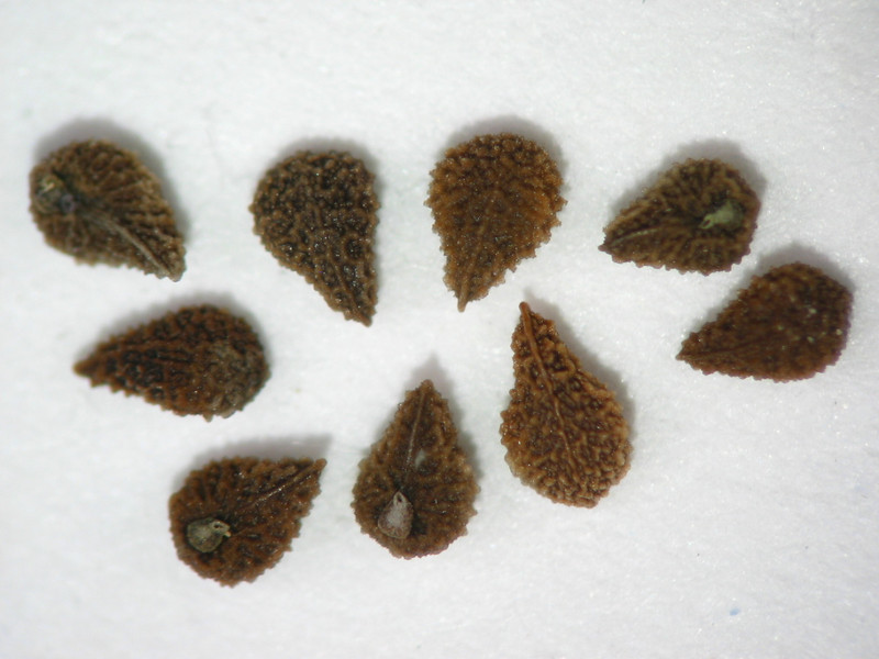 Plagiobothrys figuratus (PLFI)