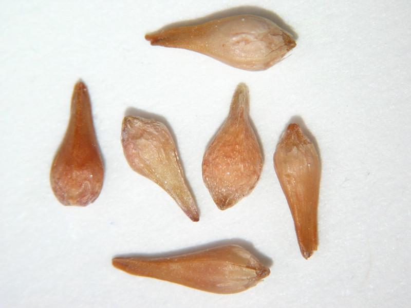 Eriogonum ovalifolium (EROV)