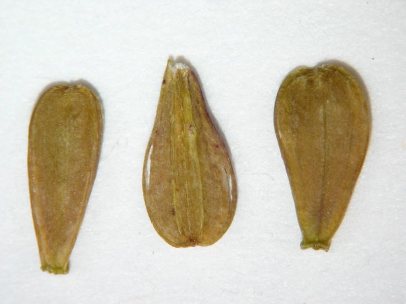 Unknown, not Geum macrophyllum