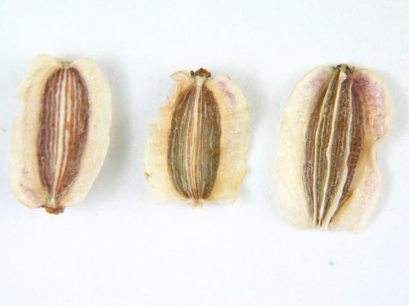 Pteryxia terebinthina var. terebinthina (PTTET)
