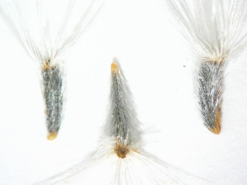 Peucephyllum schottii (PESC4)