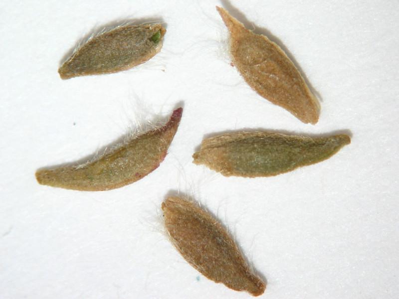 Geum triflorum (GETR)