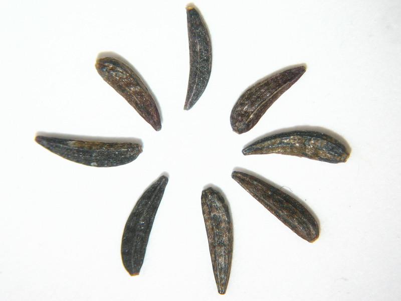 Madia gracilis (MAGR3)