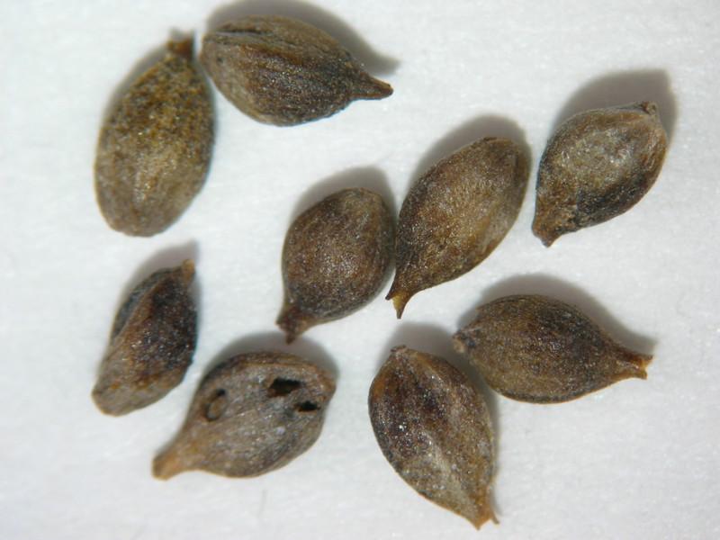 Carex lasiocarpa (CALA11)