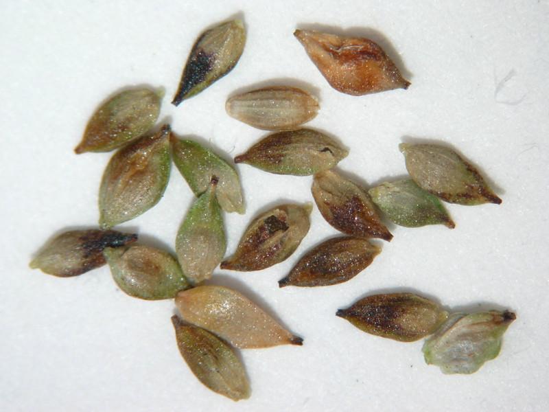Carex aquatilis (CAAQ)