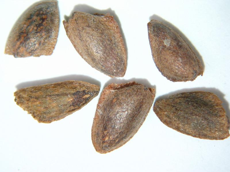Pinus monticola (PIMO3)