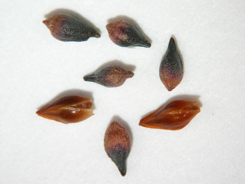 Eriogonum nudum (ERNU3)