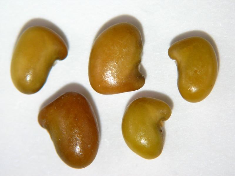 Thermopsis montana (THMO6)