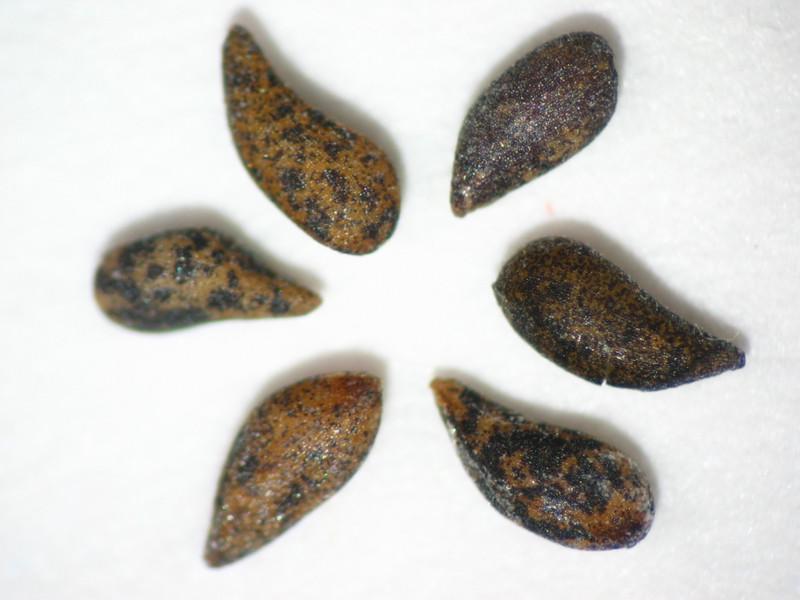 Oenothera deltoides (OEDE2)