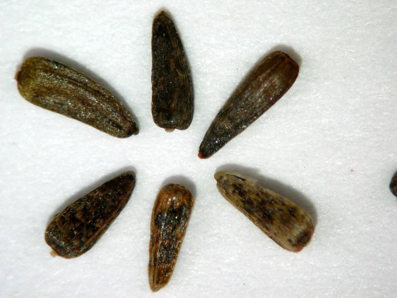 Heliomeris multiflora (HEMU3)