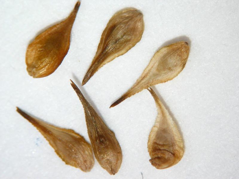 Carex microptera (CAMI7)