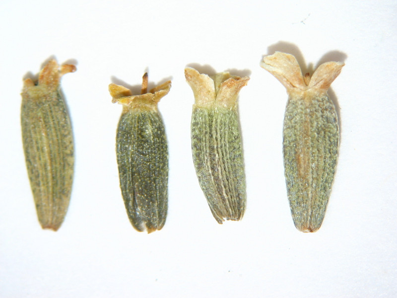 Zinnia grandiflora (ZIGR)