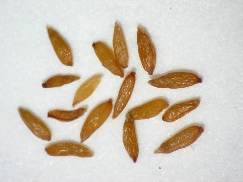Chamerion angustifolium (CHANA2)