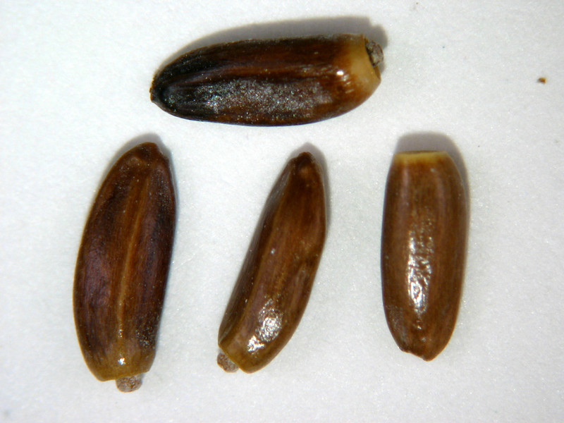 Cirsium mohavense (CIMO)