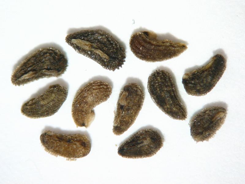 Orthocarpus cuspidatus (ORCU)