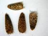 Helianthus petiolaris (HEPE)