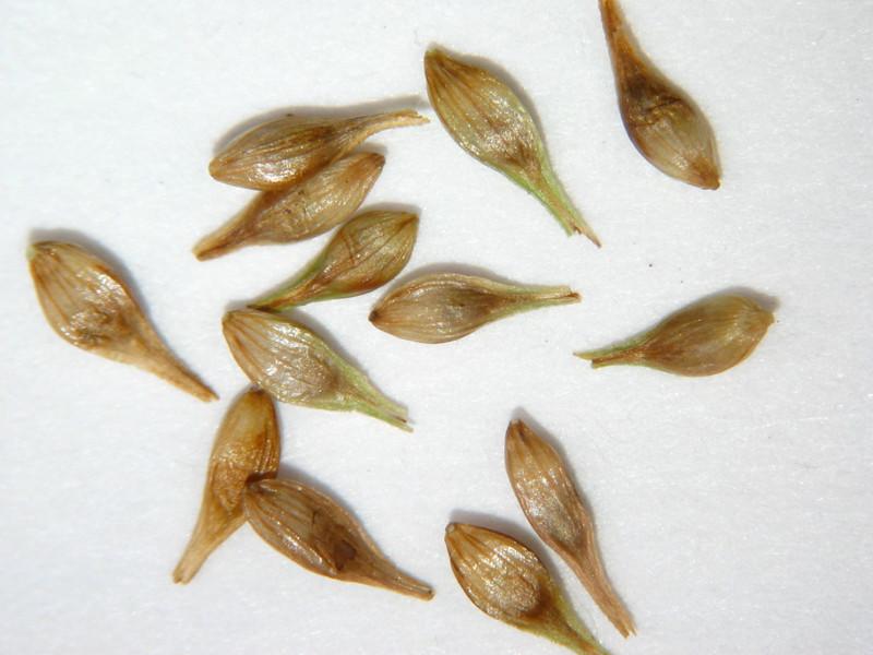 Carex bolanderi (CABO2)