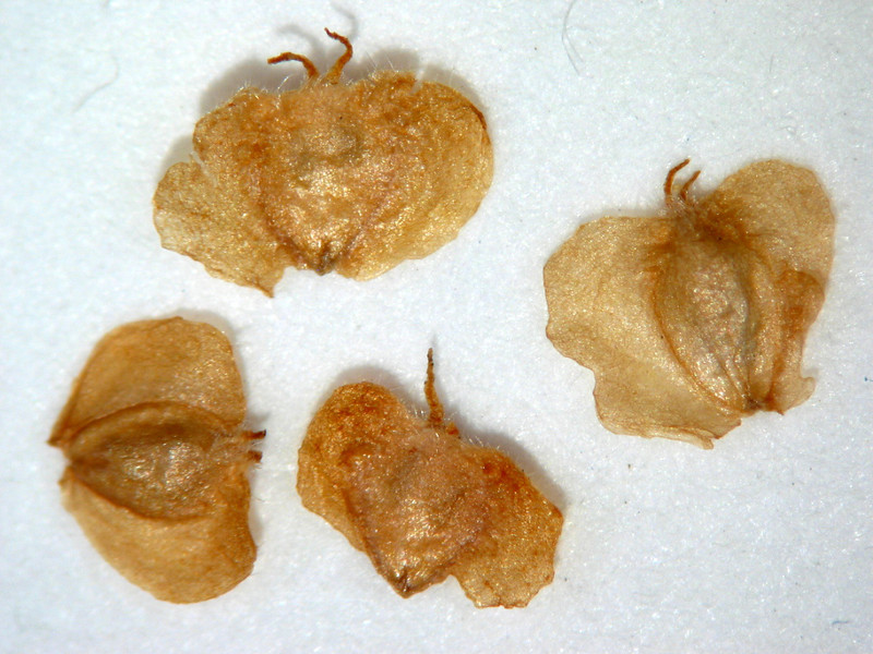 Betula occidentalis (BEOC2)