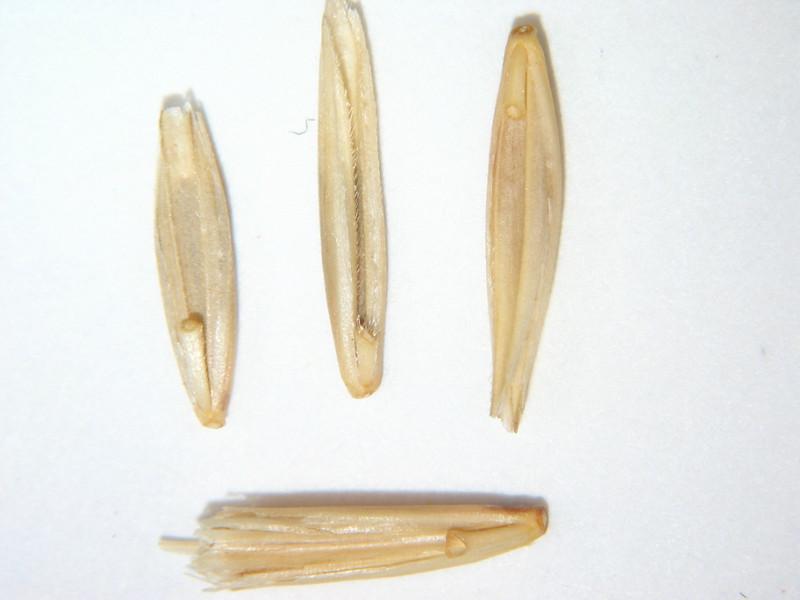 Leymus salinus (LESA4)