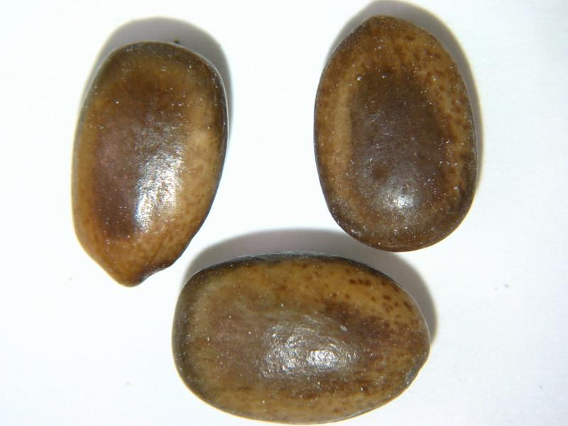 Parkinsonia florida (PAFL6)