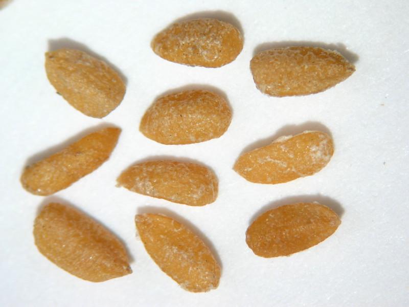 Sambucus racemosa (SARA2)