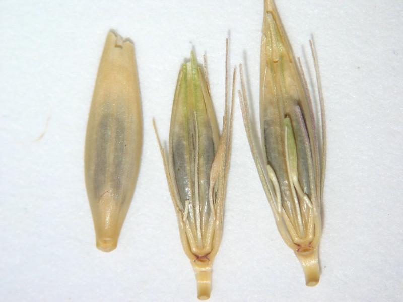 Hordeum brachyantherum (HOBR2)