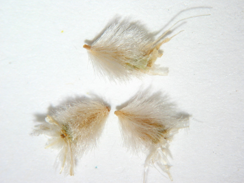 Gaillardia parryi (GAPA)
