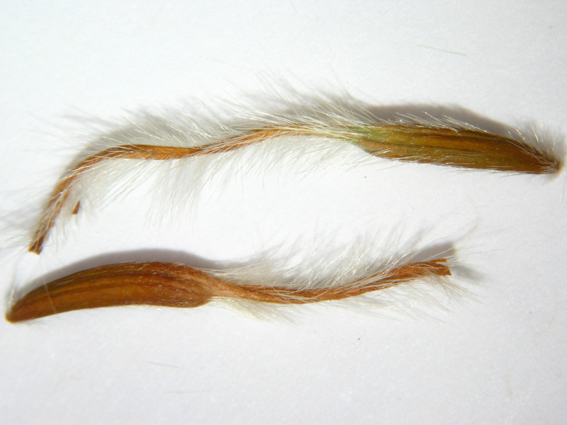 Cercocarpus ledifolius (CELE3)