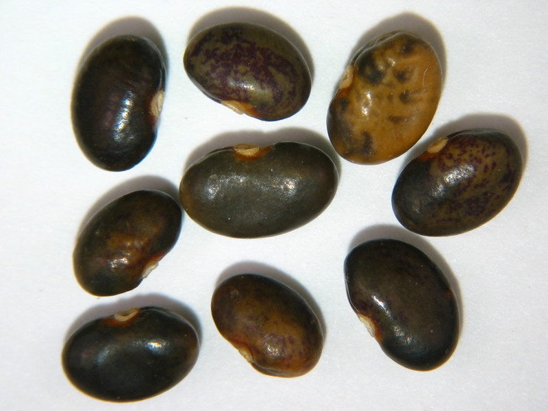 Rupertia physodes (RUPH3)
