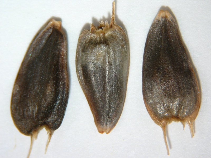 Helianthella uniflora (HEUN)