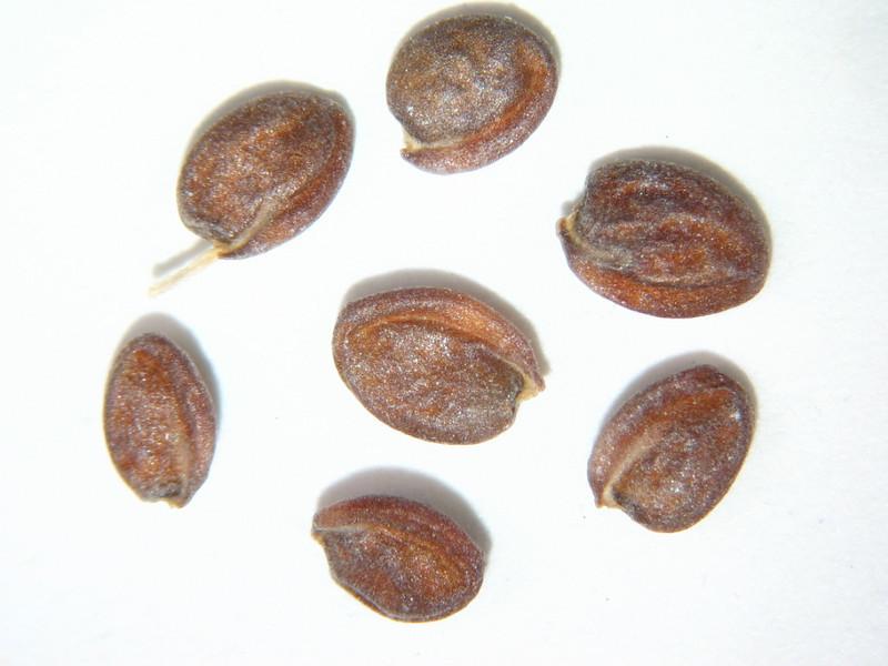 Phoenicaulis cheiranthoides (PHCH)