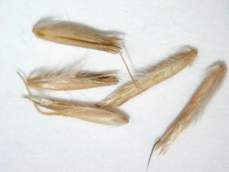 Calamagrostis purpurascens (CAPU)
