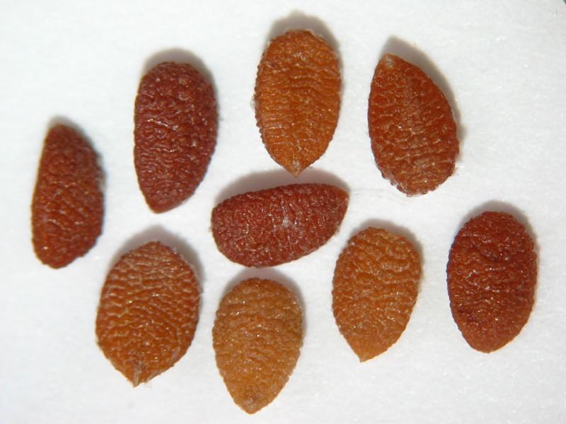 Sambucus nigra ssp. caerulea (SANIC6)