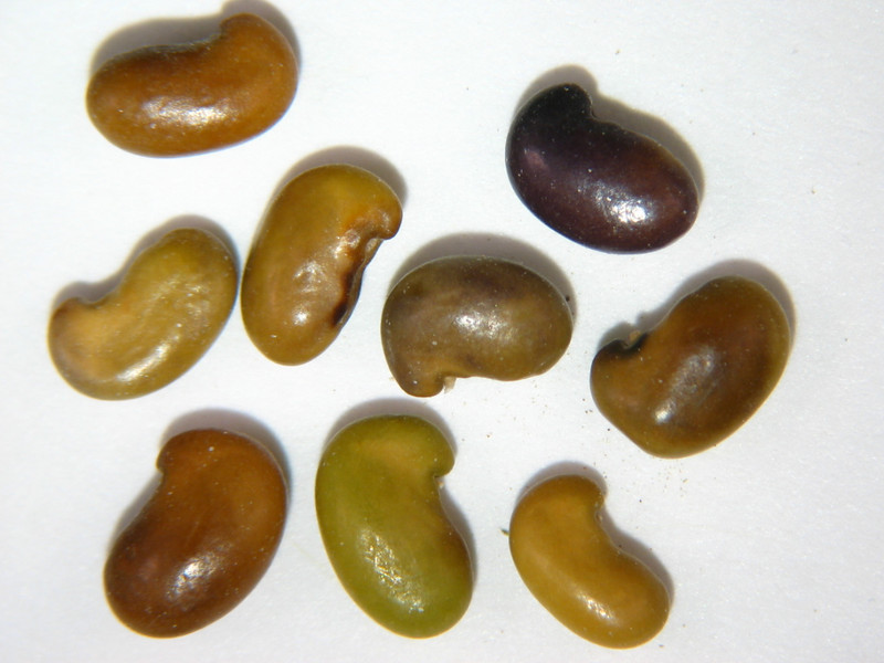 Thermopsis rhombifolia (THRH)