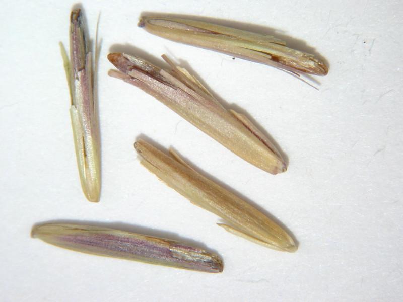 Bromus marginatus (BRMA4)