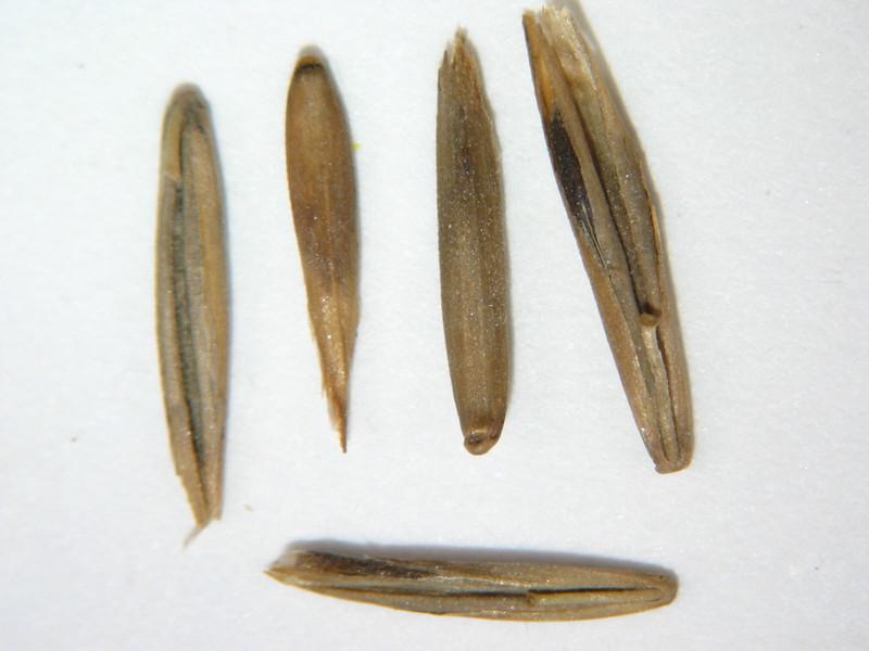 Festuca californica (FECA)