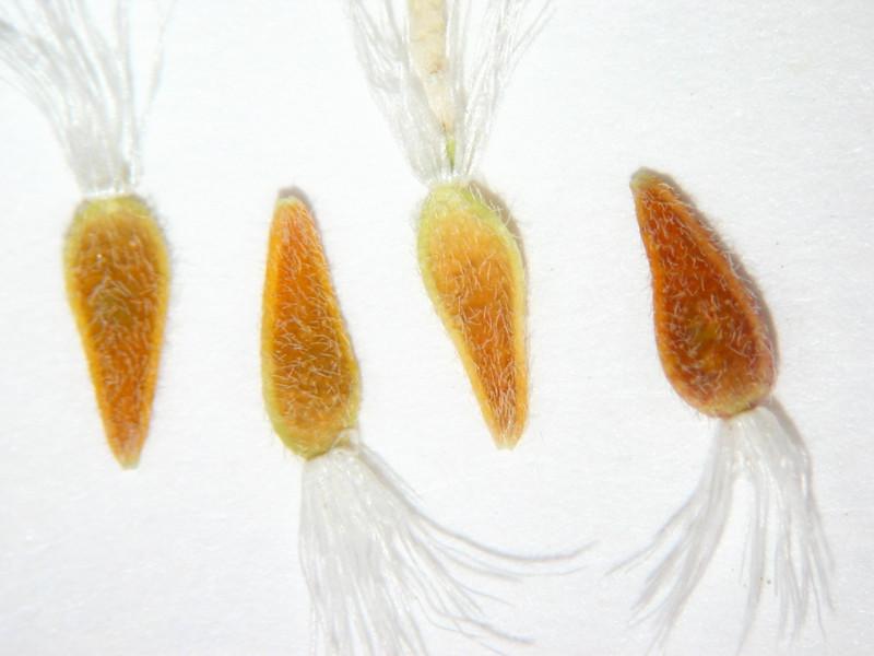 Townsendia florifera (TOFL5)