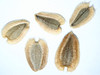 Verbesina encelioides (VEEN)