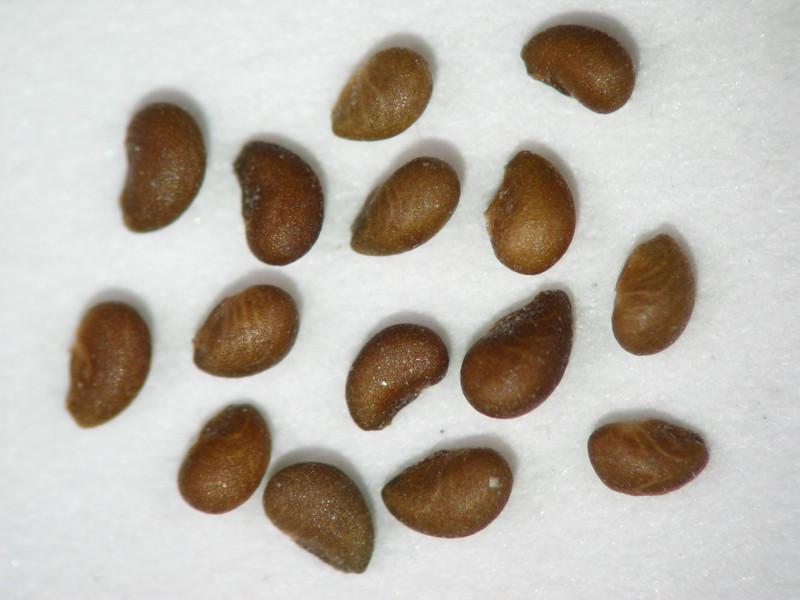 Potentilla gracilis (POGR9)