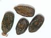 Acacia constricta (ACCO2)