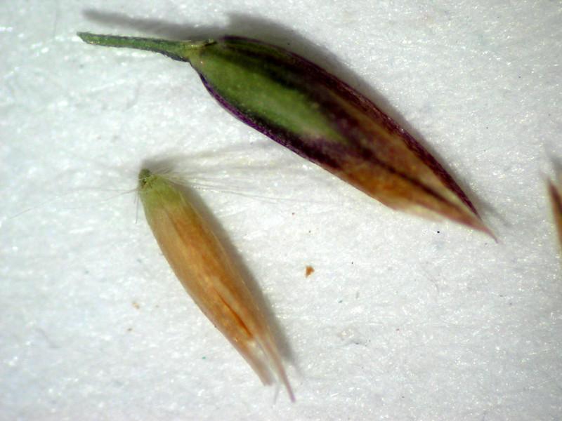 Cinna latifolia (CILA2)
