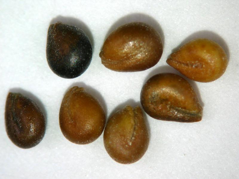 Cleomella palmeriana (CLPA3)