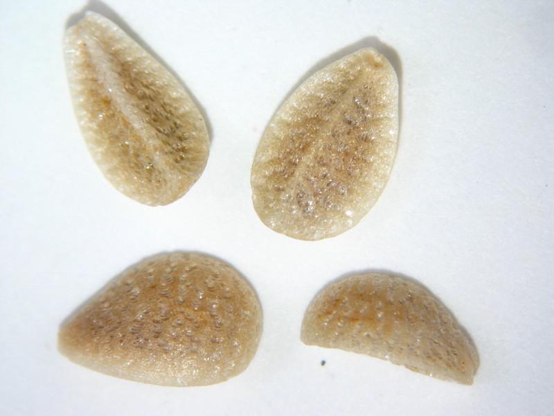 Menodora scabra (MESC)