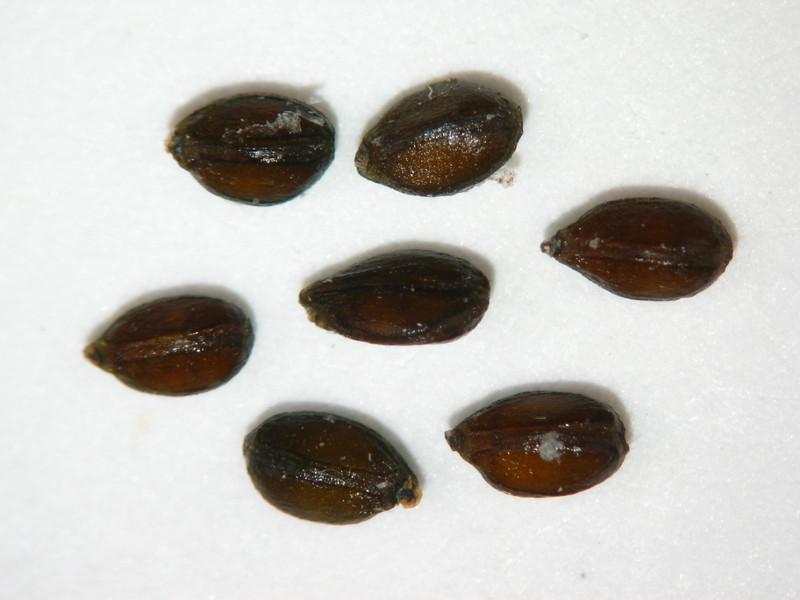 Prunella vulgaris (PRVU)