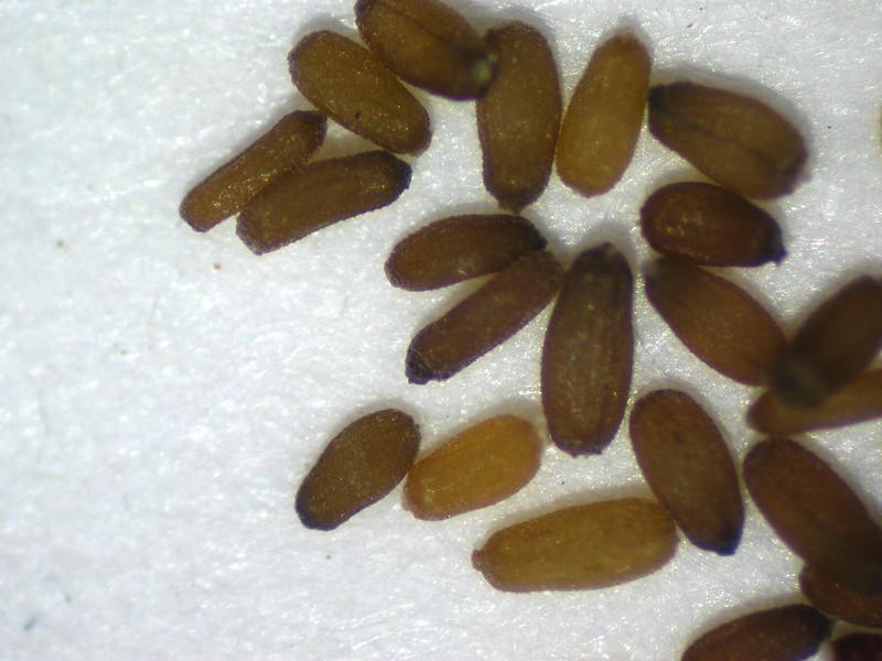Anaphalis margaritacea (ANMA)