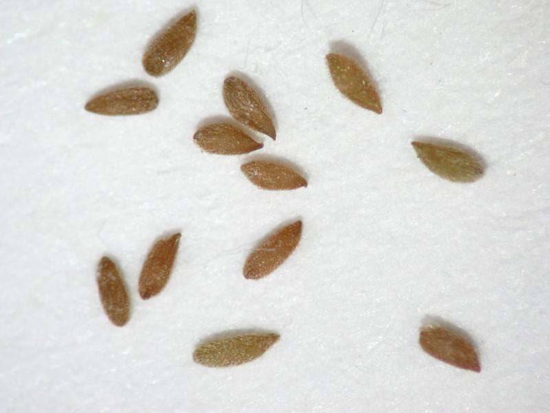 Gayophytum racemosum (GARA)