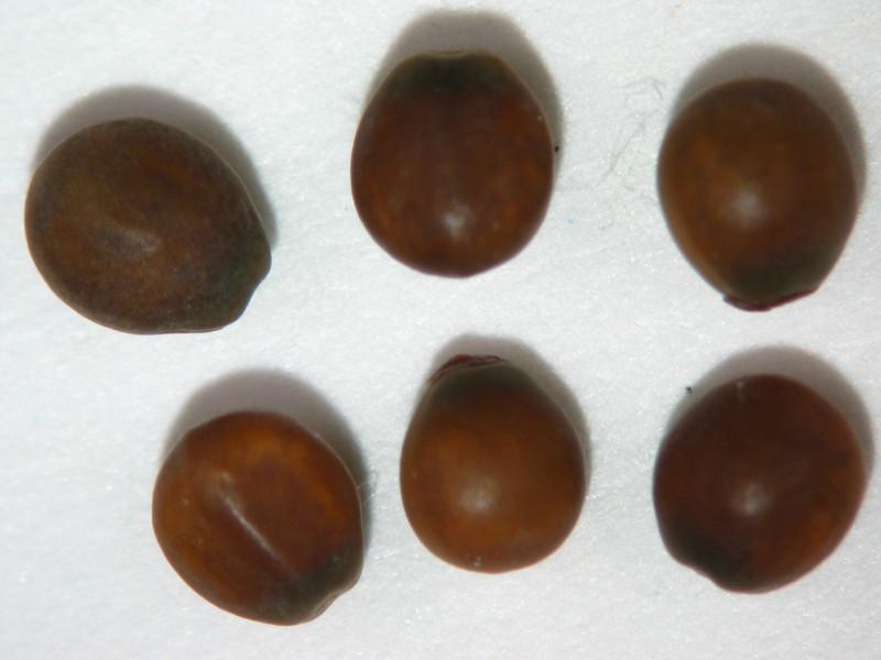 Ceanothus integerrimus (CEIN3)