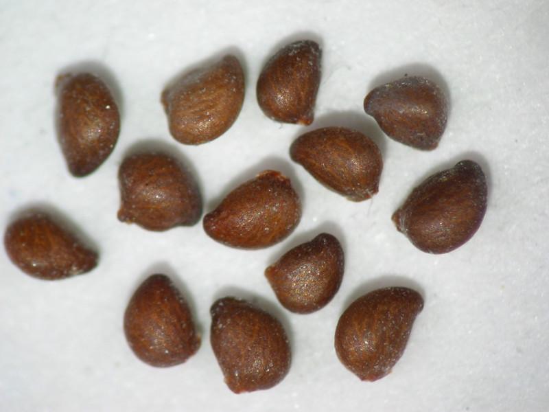 Potentilla glandulosa (POGL9)
